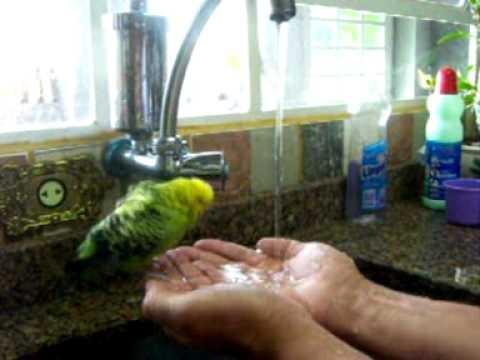 Periquito tomando banho na mão.