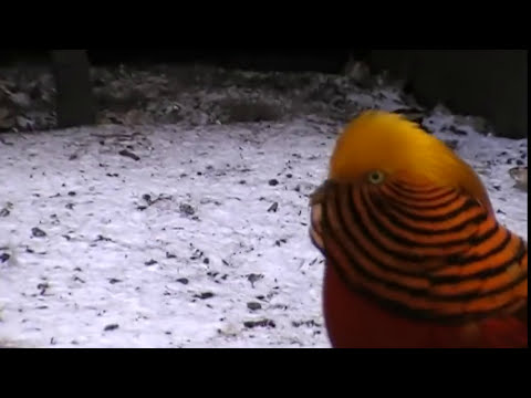 golden pheasant display