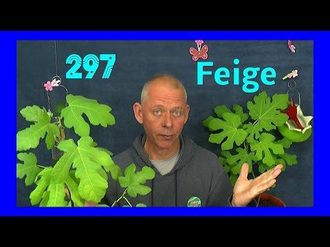 Feige vermehren vom Steckling zur Pflanze Doku