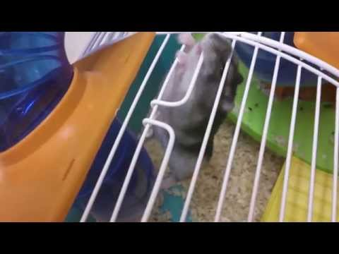 Tomb Raider Hamster