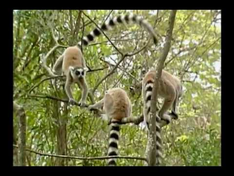 Be the Creature - Lemurs