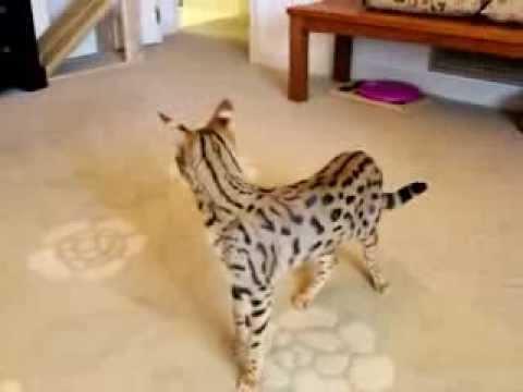 Big Savannah Cat Youtube