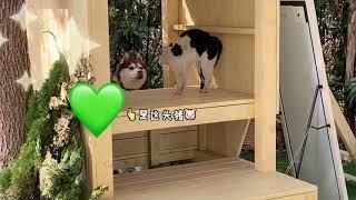 Funny Daily Chubby Corgi Dogs Cute Puppies 2019 Compilation 猫狗蠢萌合集 EP21