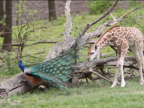 Giraffe and the peacock