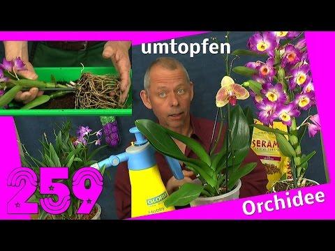 Orchidee umtopfen und vermehren. Dendrobium nobilee, berry oda