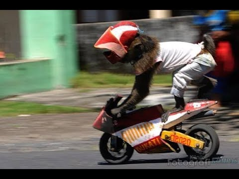 Topeng Monyet (Funny Monkey rides a motorcycle)