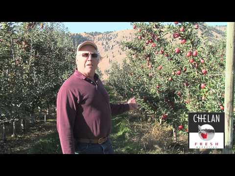 Braeburn Apple harvest in Washington State