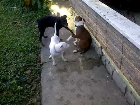 bullterrier and rottweiler vs american bully