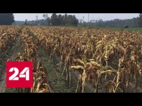 """Ураган """"Флоренс"""" уничтожил половину урожая табака в США - Россия 24"""