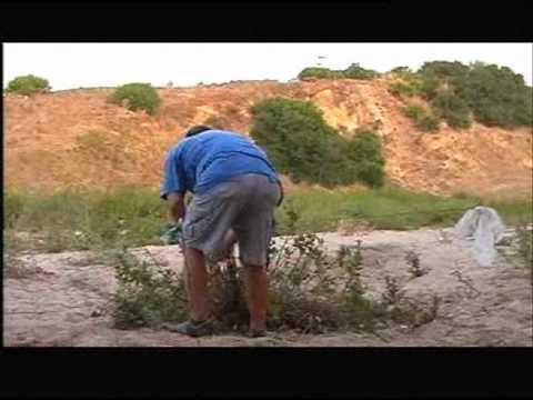 CAPTURA DE JILGUEROS JOVENES EN MEDINA ( 20 / 8 / 2011 )