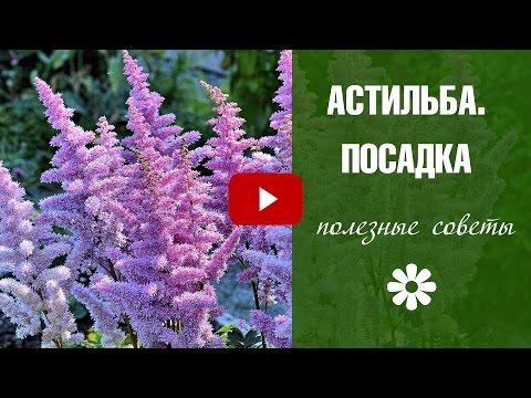 Астильба цветов выращивание