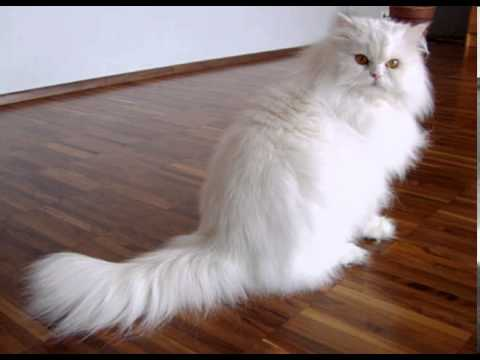 long haired cat breeds with pictures
