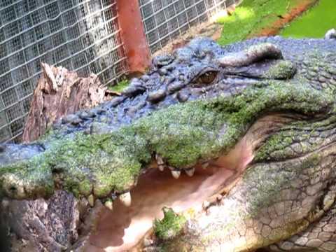 Huge crocodile eating a chicken on Green Island, Queensland, Australia
