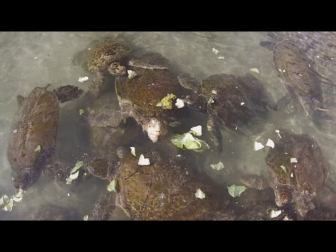 Sea Turtle Feeding at the Atlantis Resort, Bahamas