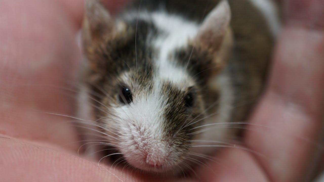 ハツカネズミの画像 p1_4