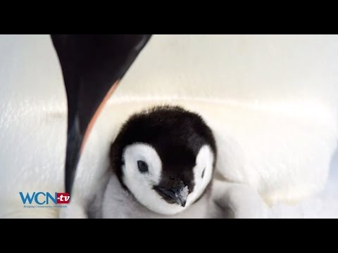 WCN-tv Earth Report: Climate Change Endangering Emperor Penguin, ENG