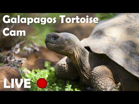 Galapagos Tortoises Live