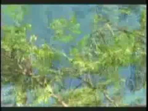 Moringa Oleífera conocida como el árbol de la vida o el á...