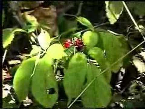 Wild Ginseng Plant Wild Ginseng
