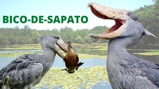 CEGONHA-BICO-DE-SAPATO - UM DOS ANIMAIS MAIS DIFERENTES DO MUNDO!