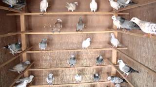 Ustad Anil Sood Pigeons Kinari bazar Delhi-6 India-Indian 27