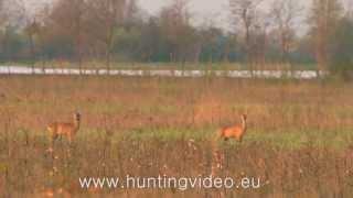 Roe Buck Hunting in Hungary Békés County (HD)