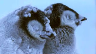 Penguin Chicks Struggle To Survive | Planet Earth | BBC Earth
