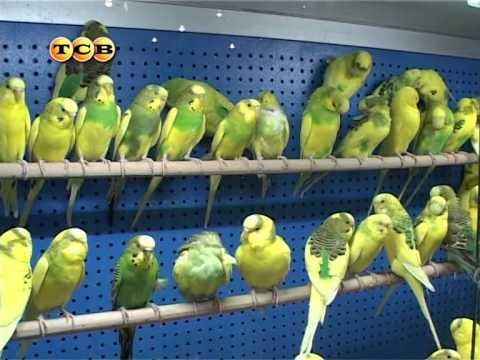 Как выбрать попугая мальчика?