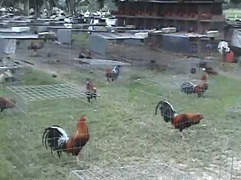 Gallos de Pelea  PALENQUE DE ORO VISITA A GRANJA GREER foro.mexicogallero.net