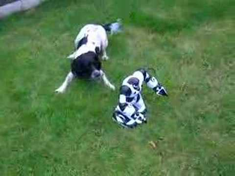 English springer spaniel vs robosapien part 1 Video