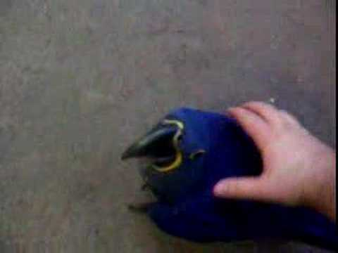 Indigo The Hyacinth Macaw Playing Avian Avenue Video