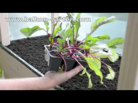 Rote Beete Pflanzen Und Anbauen - Balkongarten Rüben Gemüse