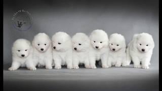 Photo session of puppies | Sesja zdjęciowa szczeniaków za kulisami | Samoyed