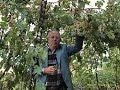 Посадка винограда. Удобрение под виноград