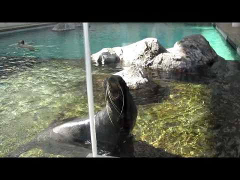 Seal Screaming like a Man
