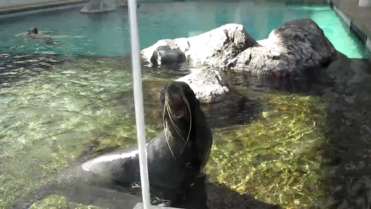 The Manliest Seal Scream Ever