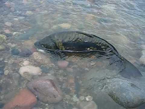 Tempe town lake dam burst impact fish youtube for Tempe town lake fishing
