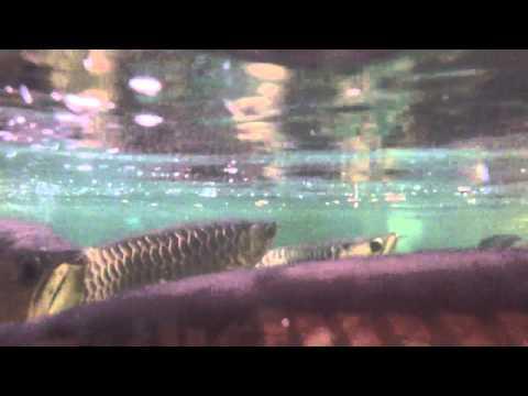 เทคนิคฝึกปลามังกรกินอาหารเม็ดKintons