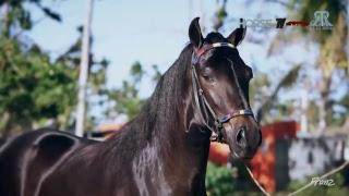 Extravaganza Ocala 2018 Paso Fino Horse Show