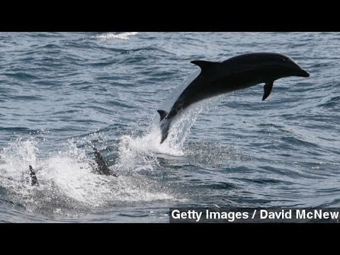 Dolphins Might Use Earth's Magnetic Field As A GPS