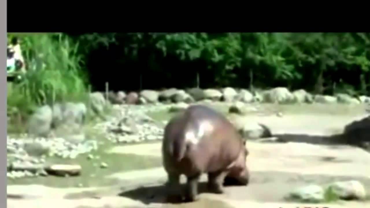 Hippo Explosive Diarrhea Farting Hippo (SO FUNN...