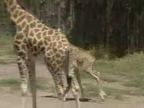 Baby Giraffe Entertains Crowds