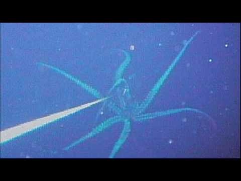 giant squid caught on camera youtube