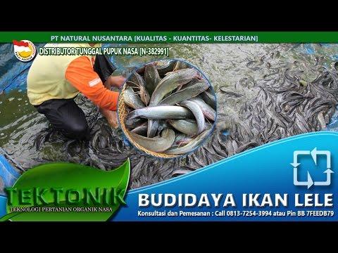 media video ikan lele terbesar didunia
