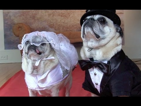 Cutest Pug Wedding