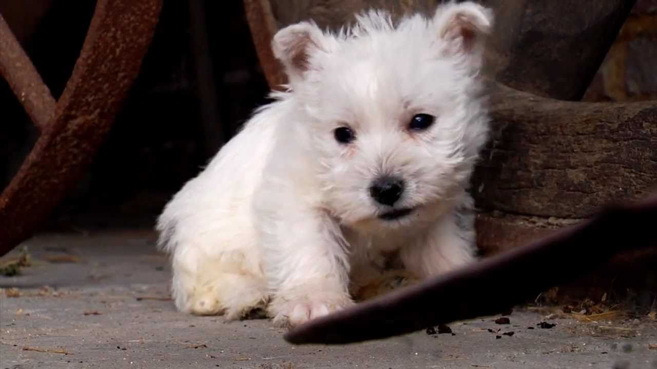 Puppy  West Highland White Terrier - YouTube