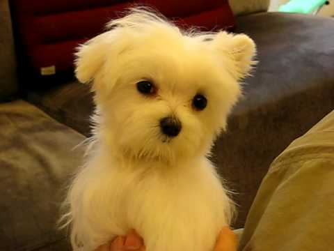 Maltesepuppies Youtube on Maltese Puppy Playing Www Sonshineacres Com 402 994 5505   Video