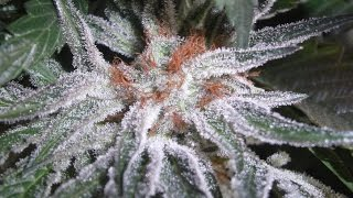 Introduction to Cannabis Botany & Genetics 101: Genotype Vs Phenotype