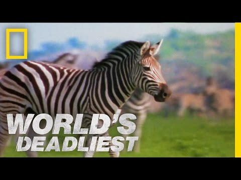 World's Deadliest - Zebra vs. Zebra