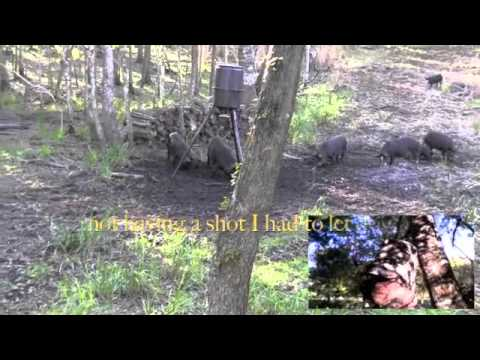 Bow Hunting Florida Hogs